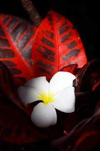 プルメリアの花と赤い葉っぱの写真素材 [FYI00497495]