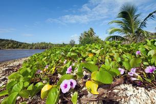 海岸沿いに生息する植物と紫の花の写真素材 [FYI00497498]
