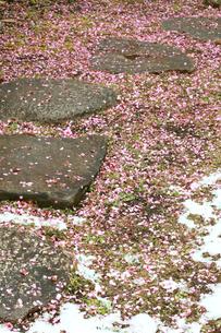 日本庭園の道と積雪と散った梅の花の写真素材 [FYI00497504]