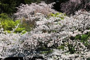 満開の春の花 桜の写真素材 [FYI00497524]
