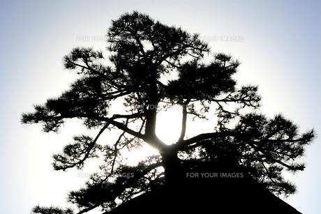 逆光の松ノ木の写真素材 [FYI00497674]