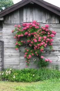 梅雨の季節に咲く、民家の壁の花の素材 [FYI00497793]