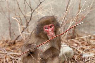 右手に棒を持ち、こちらを見つめる猿の素材 [FYI00497801]