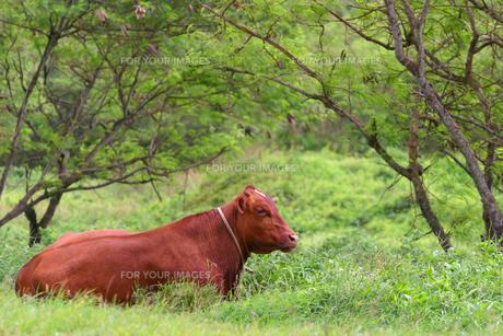 サイパン島に住む赤牛の素材 [FYI00498114]