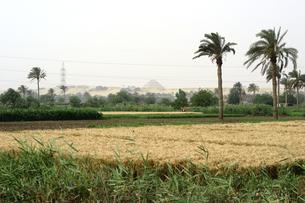 エジプト 農地とサッカーラのピラミッドの素材 [FYI00498176]
