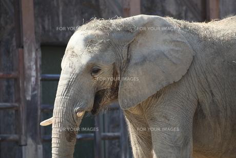 象の顔の素材 [FYI00498364]