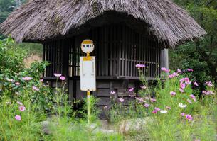 藁葺き屋根とコスモスの花とバス停の写真素材 [FYI00498925]