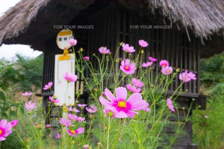 藁葺き屋根とコスモスの花とバス停の写真素材 [FYI00498926]