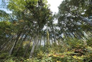 ヒノキの森の素材 [FYI00498937]