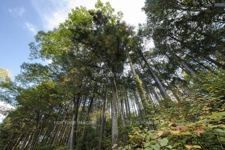 ヒノキの森の素材 [FYI00498938]
