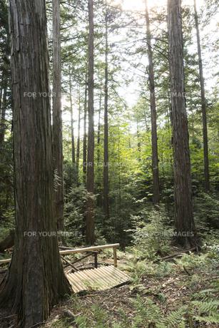 ヒノキの森の素材 [FYI00498941]
