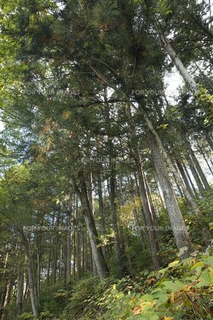 ヒノキの森の素材 [FYI00498942]