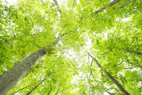 ブナノキの森の素材 [FYI00499009]