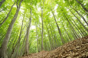 ブナノキの森の素材 [FYI00499010]