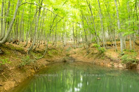 ブナノキの森の素材 [FYI00499012]