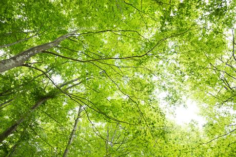 ブナノキの森の素材 [FYI00499013]