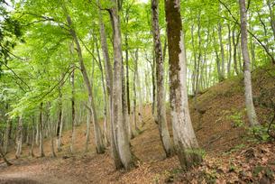 ブナノキの森の素材 [FYI00499014]