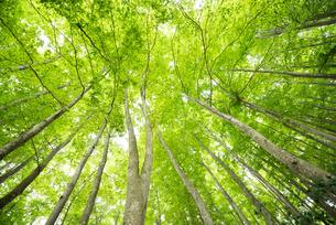 ブナノキの森の素材 [FYI00499015]