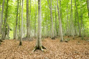 ブナノキの森の素材 [FYI00499016]