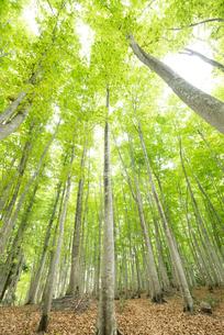 ブナノキの森の素材 [FYI00499017]