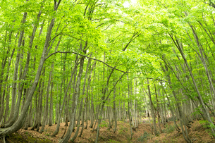ブナノキの森の素材 [FYI00499019]