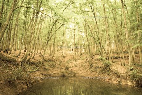 ブナノキの森の素材 [FYI00499020]
