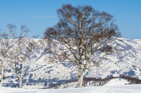 雪山と白樺の木の素材 [FYI00499035]