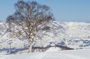 雪山と白樺の木の素材 [FYI00499039]