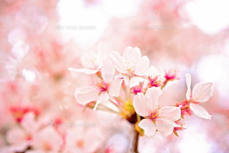 桜の花の素材 [FYI00499076]