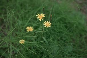 野花の素材 [FYI00499200]