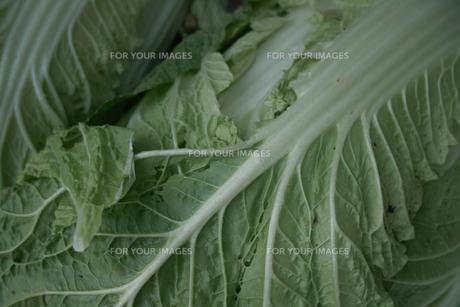 白菜の写真素材 [FYI00499217]