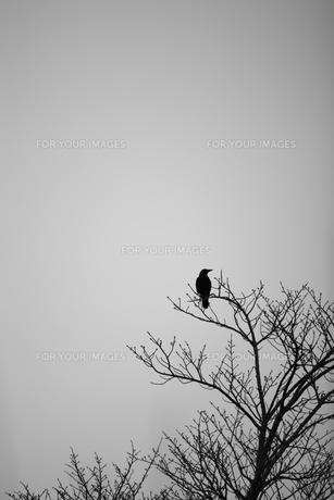 木の上のカラスの写真素材 [FYI00499390]