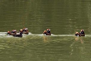 京都宝ケ池の中心へ移動するオシドリ達の写真素材 [FYI00542211]