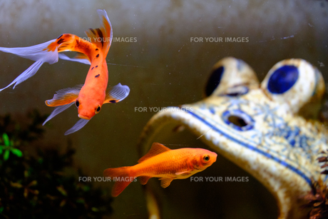 金魚の写真素材 [FYI00542252]