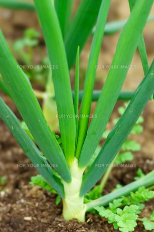 収穫前、畑になる玉ねぎの写真素材 [FYI00542391]