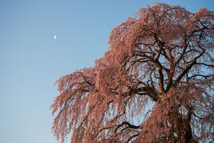 夜明けのしだれ桜の写真素材 [FYI00542464]