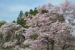 合戦場のしだれ桜の写真素材 [FYI00542465]