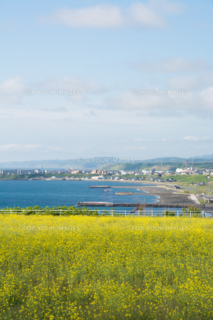 菜の花畑と海岸線の写真素材 [FYI00542783]