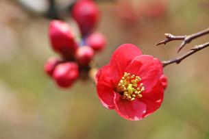 ぼけの花の写真素材 [FYI00542881]