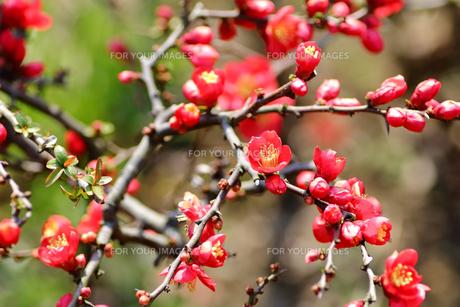 ぼけの花の写真素材 [FYI00542883]