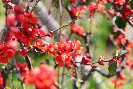 ぼけの花の写真素材 [FYI00542884]