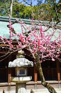 京都 北野天満宮の梅と本殿の写真素材 [FYI00543036]
