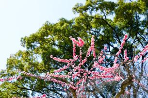 京都 北野天満宮の梅と本殿の写真素材 [FYI00543037]