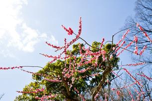 京都 北野天満宮の梅と本殿の写真素材 [FYI00543039]