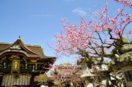 京都 北野天満宮の梅と本殿の写真素材 [FYI00543043]