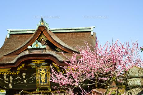 京都 北野天満宮の梅と本殿の写真素材 [FYI00543044]