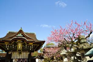 京都 北野天満宮の梅と本殿の写真素材 [FYI00543045]