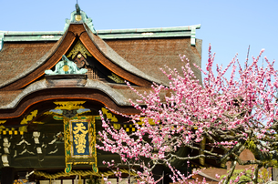 京都 北野天満宮の梅と本殿の写真素材 [FYI00543046]
