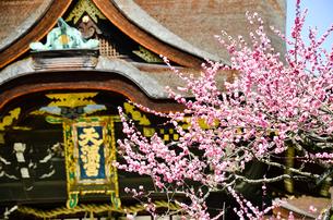 京都 北野天満宮の梅と本殿の写真素材 [FYI00543047]