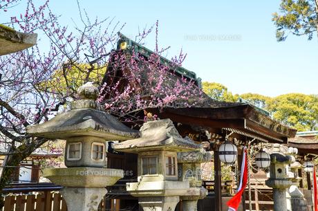 京都 北野天満宮の梅と本殿の写真素材 [FYI00543048]